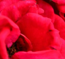 Macro on red roses petals. Sticker