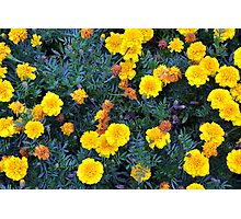 Beautiful yellow flowers texture. Photographic Print