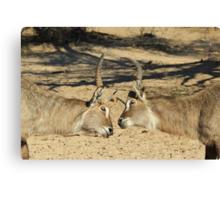Waterbuck - African Wildlife Background - Fighting Eyes Canvas Print