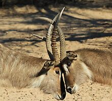 Waterbuck - African Wildlife Background - Locking Horns by LivingWild