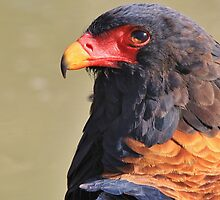 Bateleur Eagle - African Wildlife - Colorful Power by LivingWild