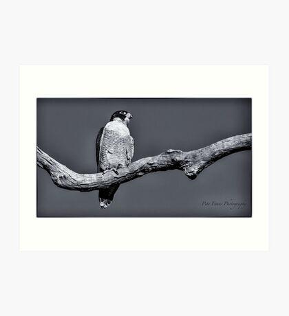 Peregrine Falcon in black & white Art Print