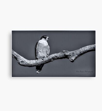Peregrine Falcon in black & white Canvas Print