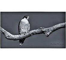 Peregrine Falcon in black & white Photographic Print