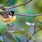 Striated Pardelote by Pete Evans