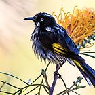 New Holland Honeyeater by Pete Evans