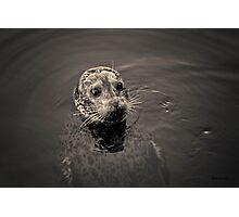 Harbor Seal I Toned Photographic Print