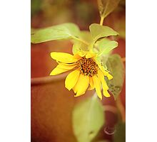 Dreaming Sunflower Photographic Print