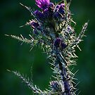 thistle colour  by Stuart Mcguire
