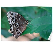 Blue Morpho underside butterfly color photo 1 Poster