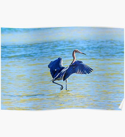 Reddish Egret On The Hunt Poster