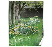 Spring Daffodils in Southern England Poster