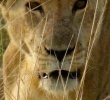 Kenya wildlife before QENP -lying lioness Sticker