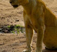 pregnant lioness sitting Sticker