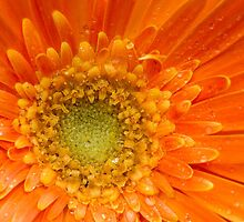 Gerbera by chris2766