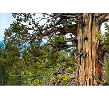 Gnarly Old Cedar Tree Photographic Print