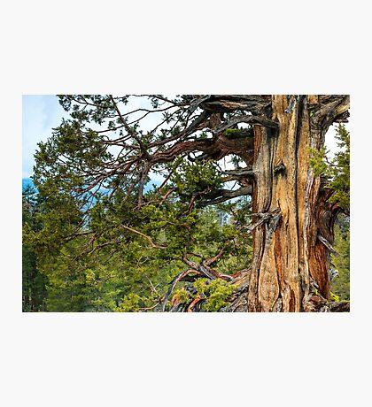 Gnarly Old Cedar Tree Photographic Print