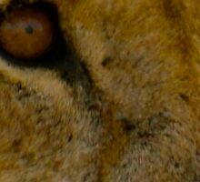 pregnant lioness stare Sticker
