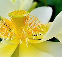 White Lotus by Cee Neuner