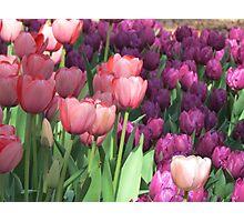 Tulips pinks and purple Photographic Print