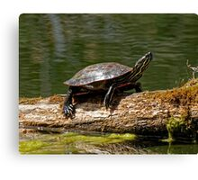 Turtle Sunning on a Log Canvas Print