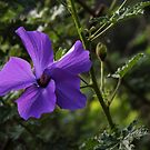 Purple flower on shrub against the light Leith Park Victoria 20160528 7019 by Fred Mitchell