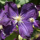 Purple Clematis from A Gardener's Notebook by Douglas E.  Welch