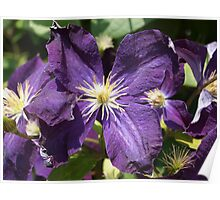 Purple Clematis from A Gardener's Notebook Poster