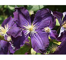 Purple Clematis from A Gardener's Notebook Photographic Print