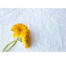 Two yellow gerberas Photographic Print