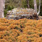 Alpine Coral Fern, Cradle Mountain, Tasmania, Australia. by kaysharp