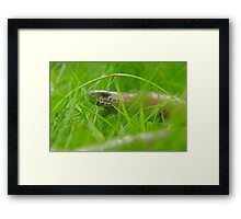 Venturing out slowly! A Slow worm comes out to say hi Framed Print