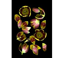 Tulip Edges Photographic Print