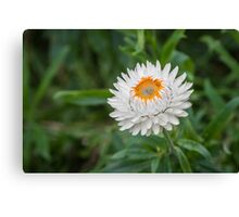 Bloom of a strawflower Canvas Print
