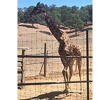 Happy Giraffe  Photographic Print