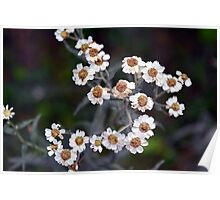 Small white flowers in the garden. Poster