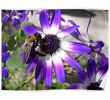 Bumble Bee on Purple Daisy Poster