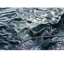 Great White Shark Goes for Bait (2) Photographic Print