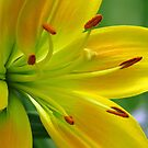 Lily in the  Garden by lorilee