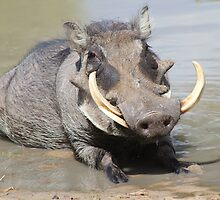Warthog - African Wildlife Background - Summer Swim by LivingWild
