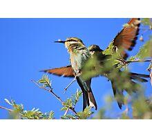 Bee-eater - African Wild Birds - Colors of Flight Photographic Print