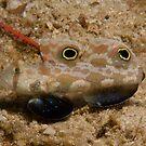 Signal Goby, Papua New Guinea by Erik Schlogl