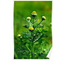 Pineappleweed Poster