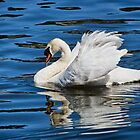 Mute Swan by Susie Peek
