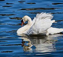 Mute Swan by Susie Peek