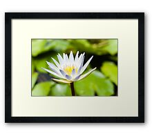 White Lotus Water Lily Framed Print
