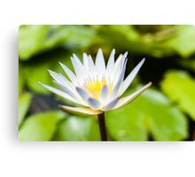 White Lotus Water Lily Canvas Print