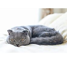 Scottish Fold cat curled up on bed Photographic Print