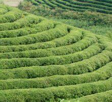 Chinese Green Tea Plantation Sticker