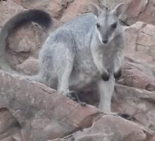 Rock Wallaby by Lillydale1